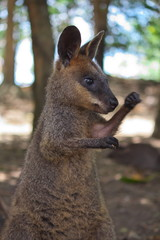 Playful Wallaby