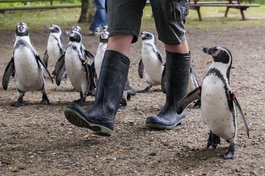 Penguin walk Zoo keeper walking Humboldt's Penguins
