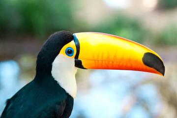 brasilia toucan