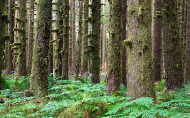 Hoh Rainforest Spruce Hemlock Cedar Trees Fern Groundcover