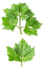 Lovage twig isolated