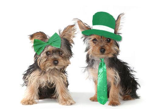 Yorkshire Terrier Puppies Celebrating Saint Patricks Day