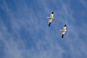 Pair of Snow Geese Flying in a Cloudy Sky