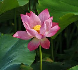 Wall Mural - Lotus flower and Lotus flower plants