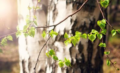 New birch leaves