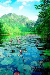 Fototapete - Pink flower and water LiLy flower plants on river