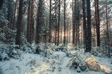 landscape snow trees dense forest in winter