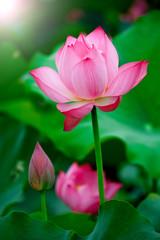 Wall Mural - Lotus flower