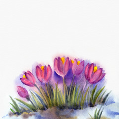 Watercolor background  of early spring flowers. Crocus