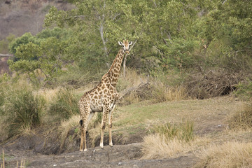 wild giraffe walking in the bush, Kruger, ZA