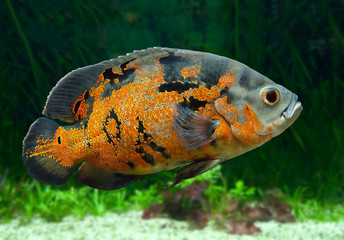Bright Oscar Fish underwater