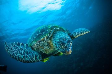 sea turtle swimming bunaken sulawesi mydas chelonia