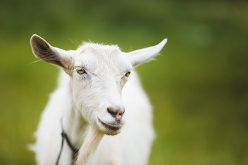 Portrait of goat
