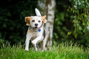 Beagle in Bewegung