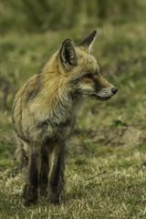 fox, vulpes vulpes