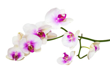 Twig orchid