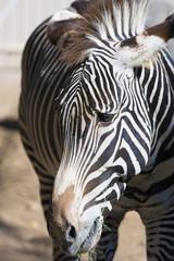 Close- up of zebra head