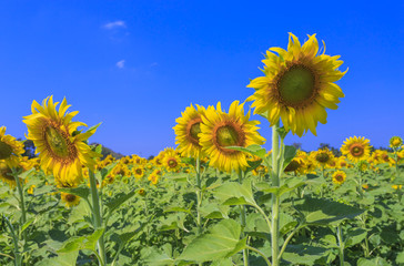 Beautiful sunflowers in the field over blue sky.