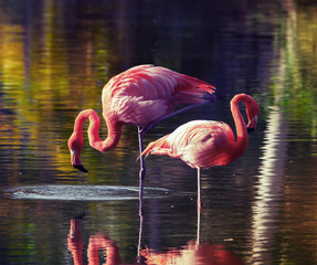 Two pink flamingos standing in the water with reflections
