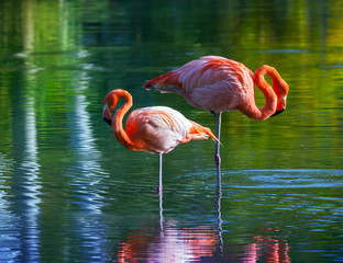 Two pink flamingos standing in the water. Stylized photo