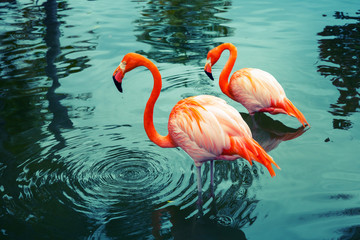 Two pink flamingos walking in the water with reflections