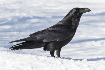 Common Raven (Corvus corax ) perched in snow