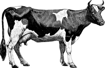 Vintage graphic farm cow