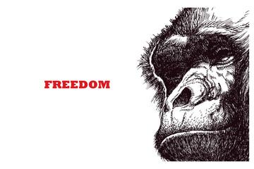 Head gorilla, engraving style illustration