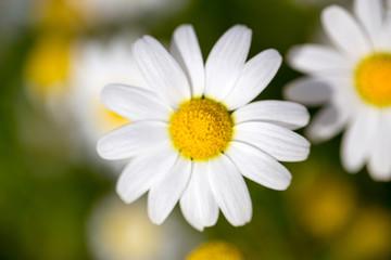 Chamomille daisy flower