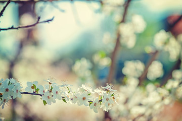 view on the branch of blossoming cherry tree floral background i