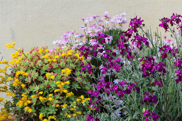 Garden with purple and yellow flowers. Colorful flowers garden.