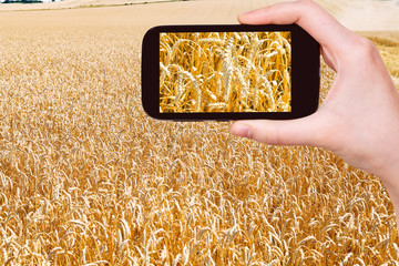 tourist taking photo of ears of ripe wheat field