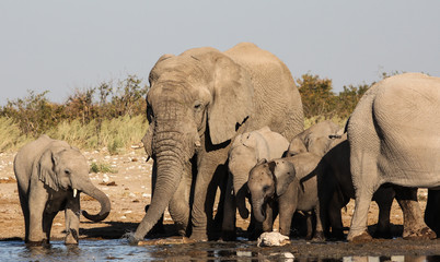 Garden Poster Elephant Group of Elephants at the Waterhole, Etosha, Namibia