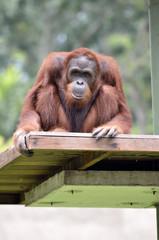 Foto op Aluminium Aap Orangutan..