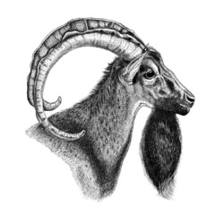 Hand draw of goat.New Year symbol.For prints.Black and white.Lin