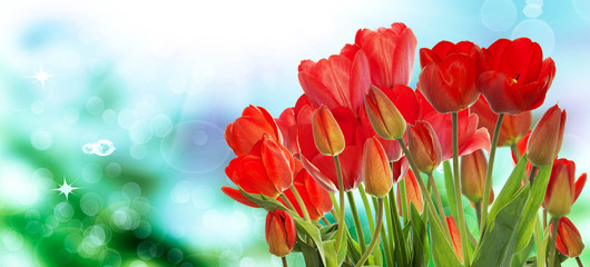 Beautiful garden fresh colorful tulips on abstract  background