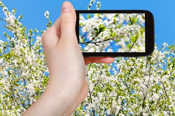 tourist taking photo of cherry blossoms