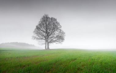 Single oak tree in spring morning in the fog