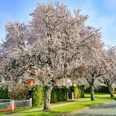 Cherry blossom on the street of Vancouver.