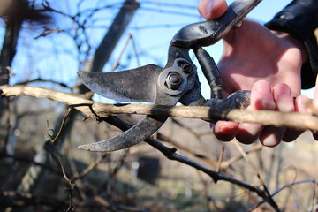 Pruning branches of grapes in the spring garden.