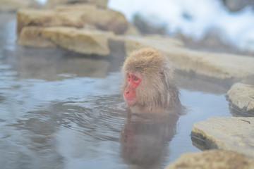 ニホンザル 温泉