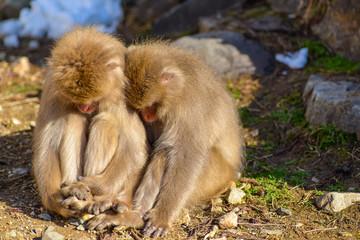 地獄谷温泉 日本猿