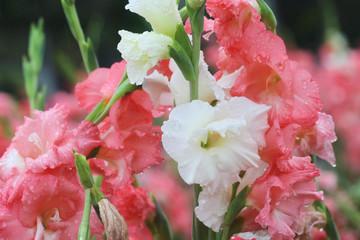 macro raindrop on flower, gladiolus flower