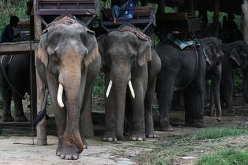 close up Thai elephant outdoor