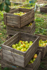 Green apples in a boxes
