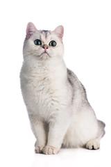 british shorthair kitten sitting on white