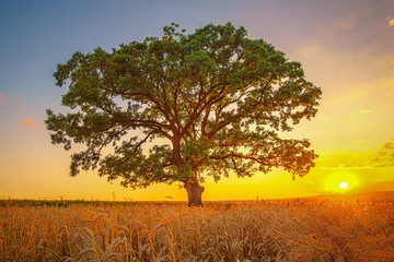 Big green tree in a field, summer shot