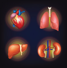 Vector internal organ set