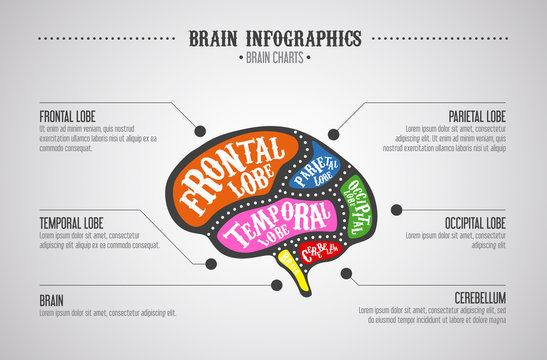 Brain divided in color parts. Brain cuts diagram vintage style