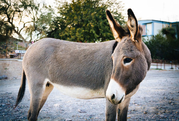 A donkey in Oatman, Arizona.